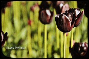 Pretty Chocolate Tulips